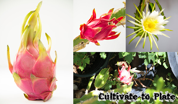 Dragon Fruit Or Pitahaya Fruit Of The Moonflower Cactus Plant