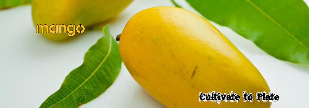 Mango Fruit – Mangifera Indica