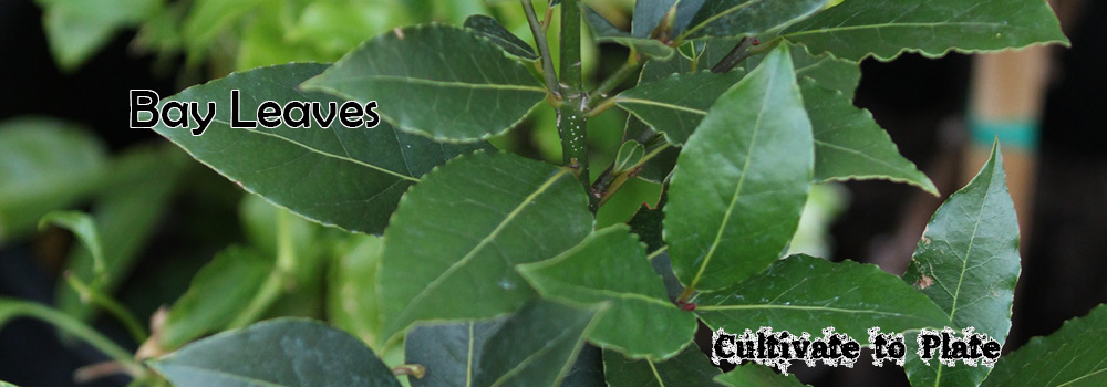 Bay Leaf – Laurus Nobilis