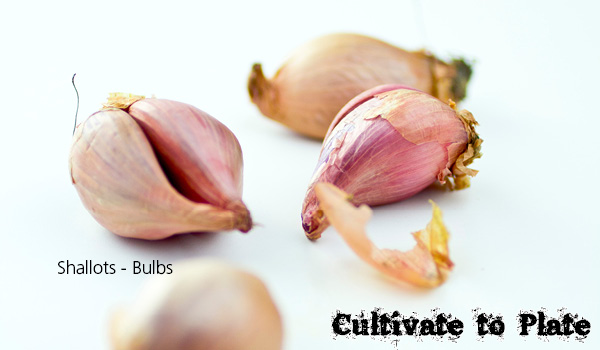 What Are Bulbs?