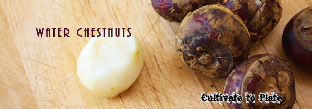 Water Chestnuts – Eleocharis Dulcis