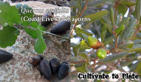 Planting Live Oak Tree Acorns : Coast live oak quercus agrifolia cultivate to plate