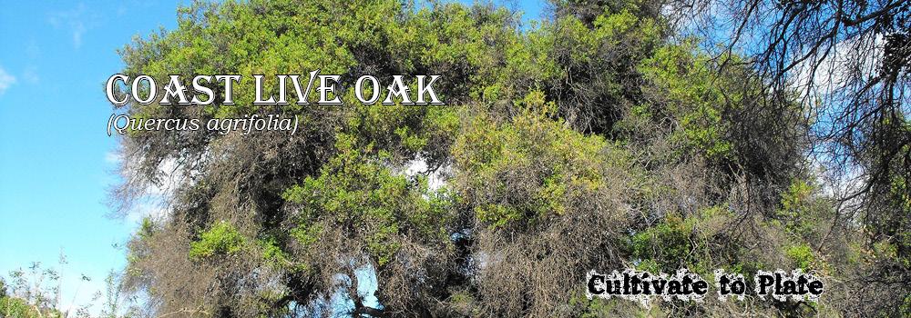 Coast Live Oak – Quercus agrifolia
