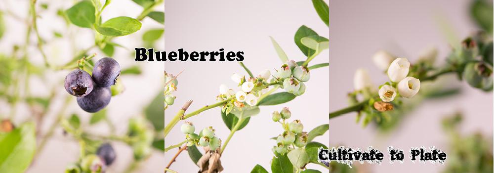 Blueberries – Vaccinium corymbosum