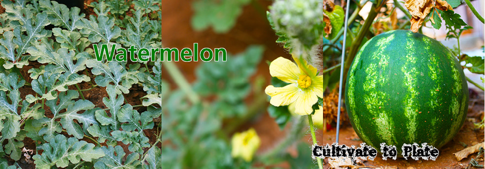 Watermelon – Citrullus lanatus var. lanatus