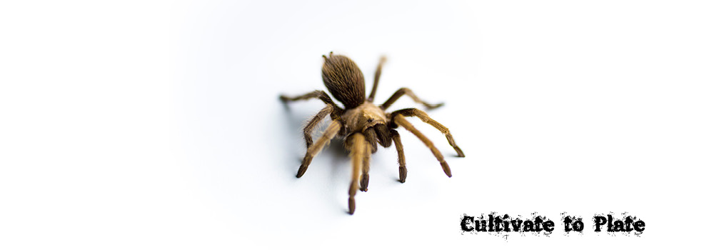Tarantula – Theraphosidae Family
