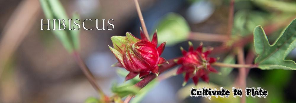Hibiscus (Jamaica) Vinaigrette