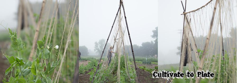 Photos of the Week: Garden Peas