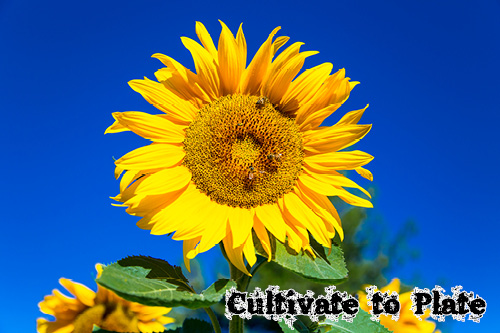 Sunflower: Helianthus Annuus