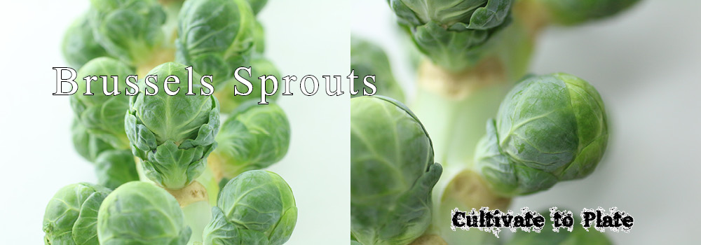 Brussels Sprouts – Brassica oleracea