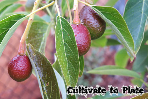 Avocado | Cultivate to Plate